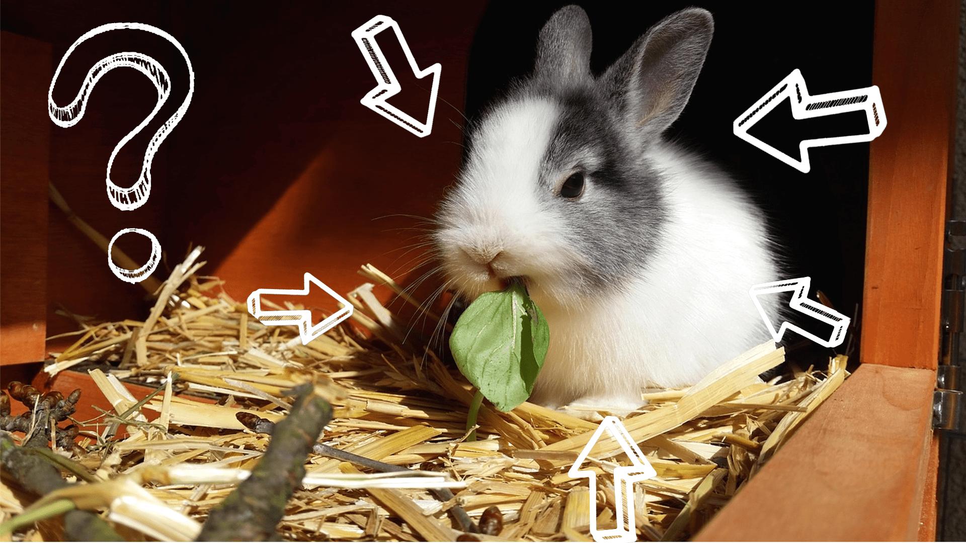 jak żywić królika