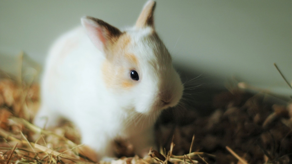 dieta młodego królika