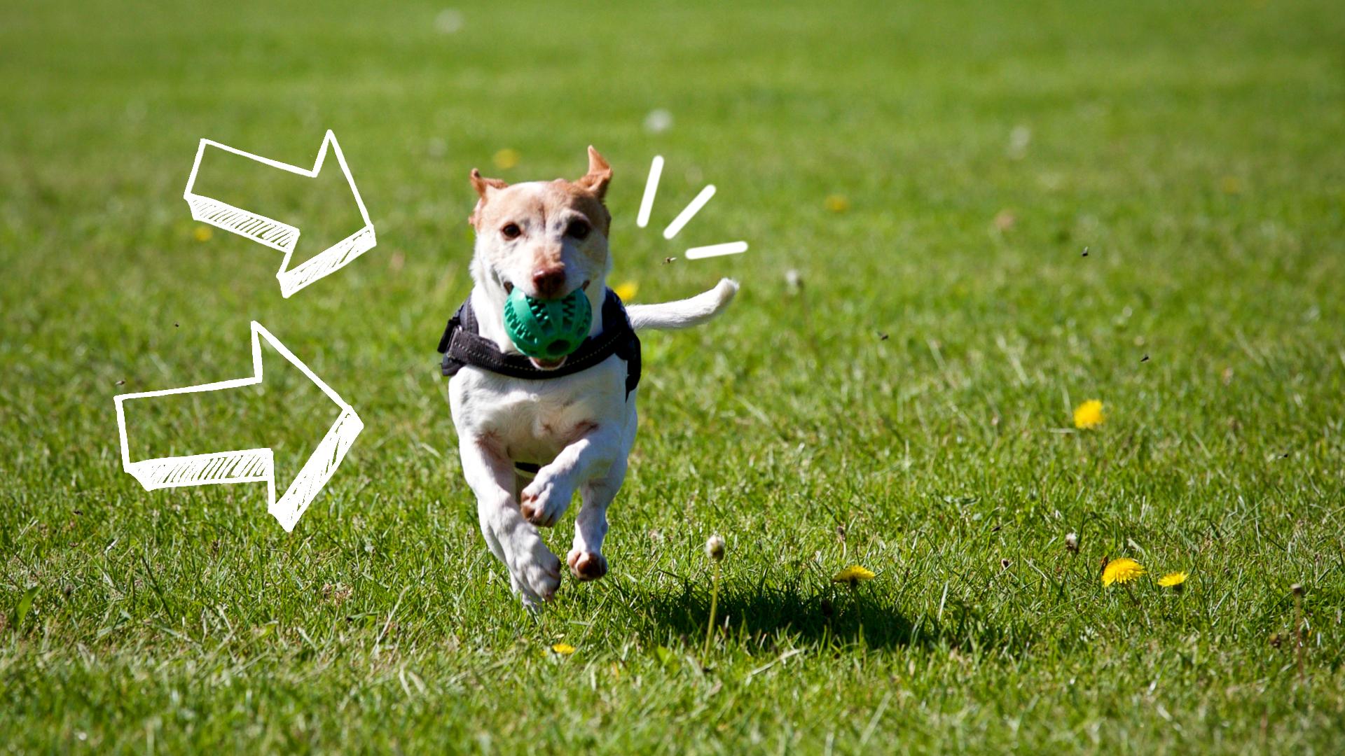 dieta psa sportowego