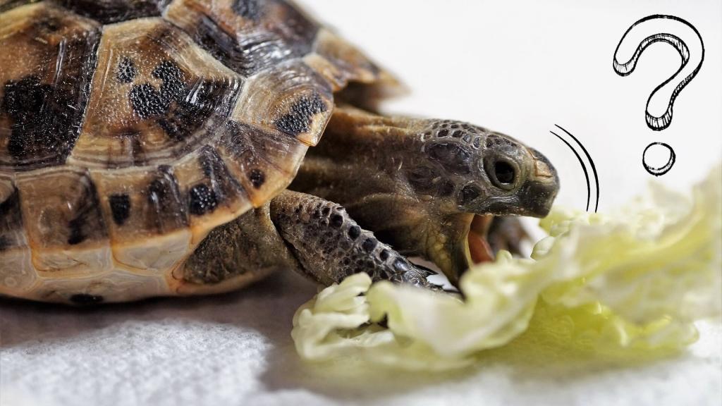 dieta żółwia